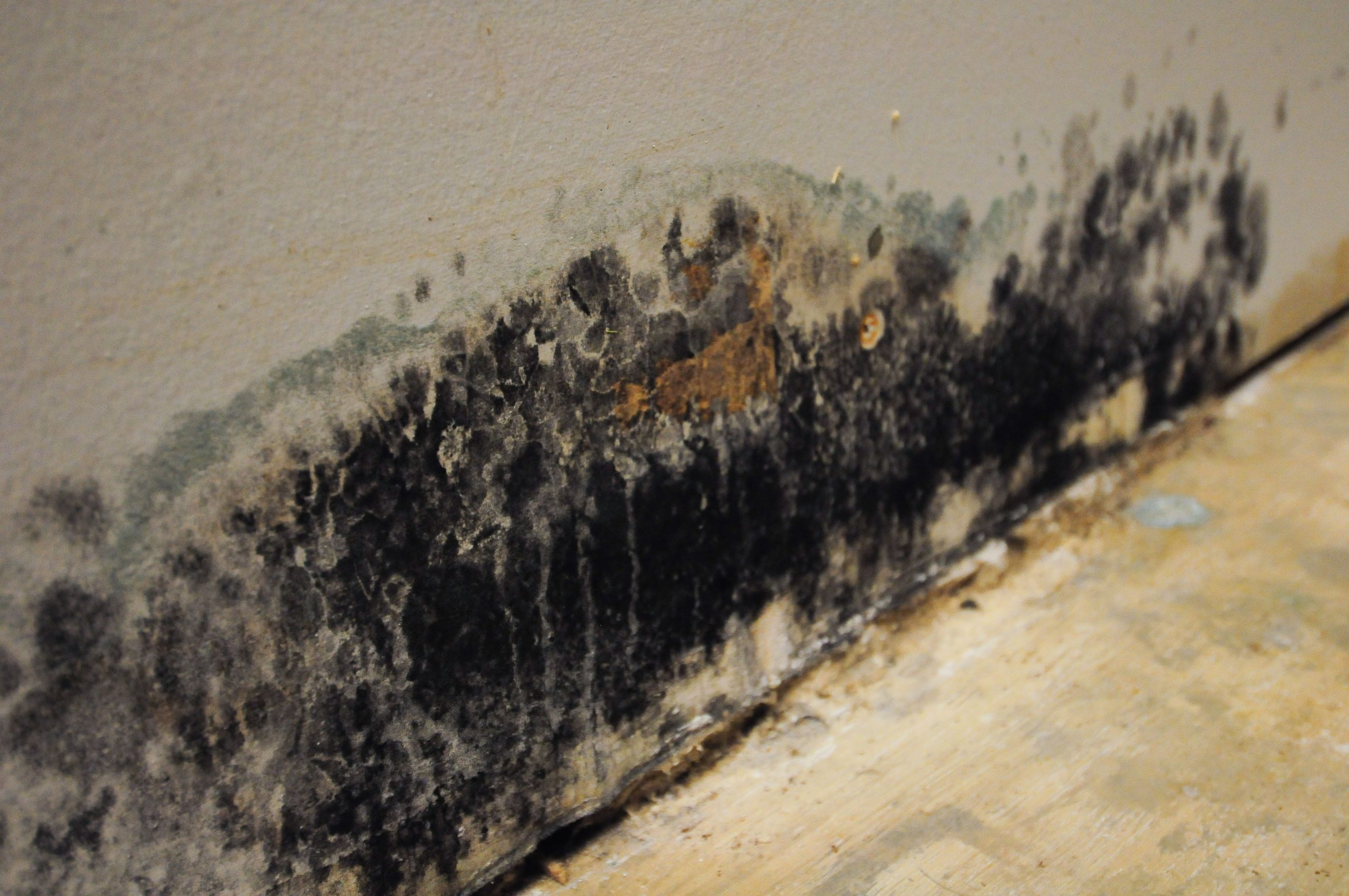 Read more about the article How do You Prevent Black Mold?
